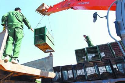 昨日中午12时许,运送东北虎的大挂车抵达沈阳怪坡虎园,工作人员用钢索连接到铁笼上,由抓钩机将其转运到货车上,然后运往虎舍。