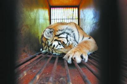 昨日上午9时20分许,饱受旅途颠簸的老虎大部分在笼中酣睡,这些凶猛的家伙睡觉时显现出可爱的一面。 本版图片由记者 查金辉 摄