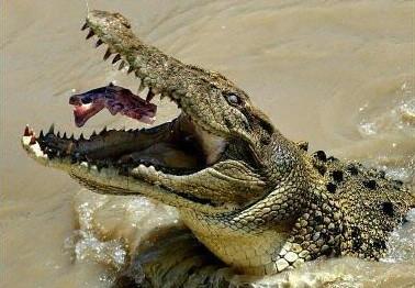 盘点各类动物袭人惊险瞬间 男子亲鲨鱼被咬(图)-被鳄鱼咬后和被鲨图片