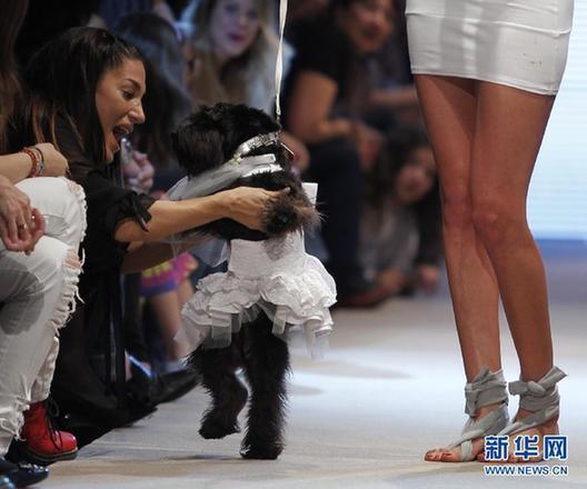 一只宠物狗和女模特一同走秀