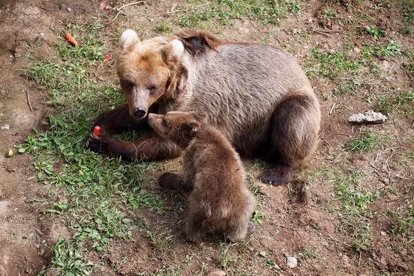 孕妇梦到好多小棕熊