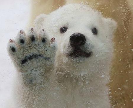 这个三个月的可爱的小北极熊在丹麦度过了一段美好的时光在 它喜欢在