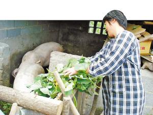 毕良龙的妻子正在喂猪.图片