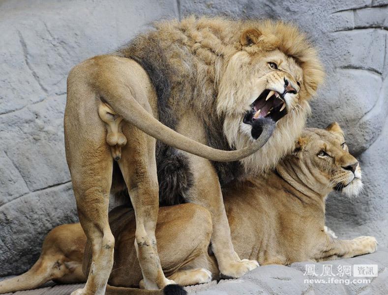 做爱交配_狮子\