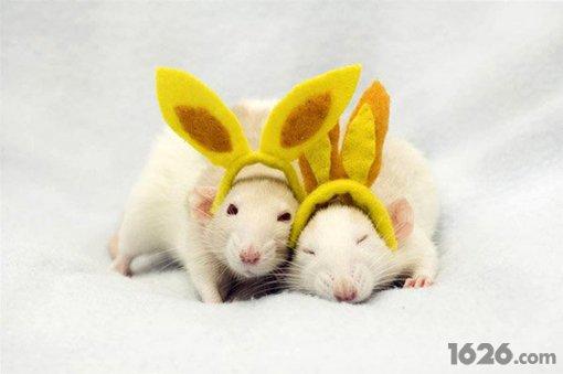 可爱的宠物鼠系列摄影 老鼠也卖萌了(组图)-搜狐滚动