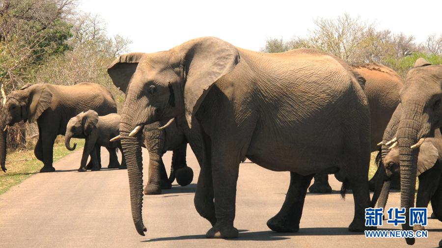 在南非克鲁格国家公园里,象群穿过马路。(10月8日摄)克鲁格国家公园位于南非的姆普马兰加省、林波波省,毗邻津巴布韦和莫桑比克两国边境,是南非最大的野生动物园。它创建于1898年,占地约200万公顷,分布着众多异兽珍禽。每年接待约150万名来自世界各国的游客。2002年12月11日,克鲁格国家公园与津巴布韦的戈纳雷若国家公园和莫桑比克的林波波国家公园合三为一建立成为世界最大的野生动物保护区大林波波河跨国公园。新华社记者李启华摄来源新华网)