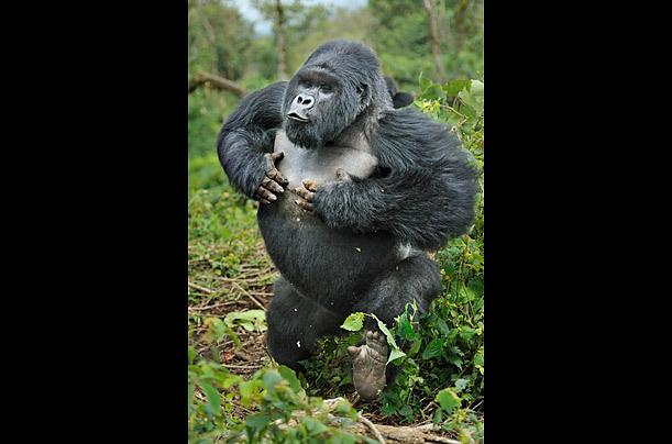 探秘 中非山地大猩猩