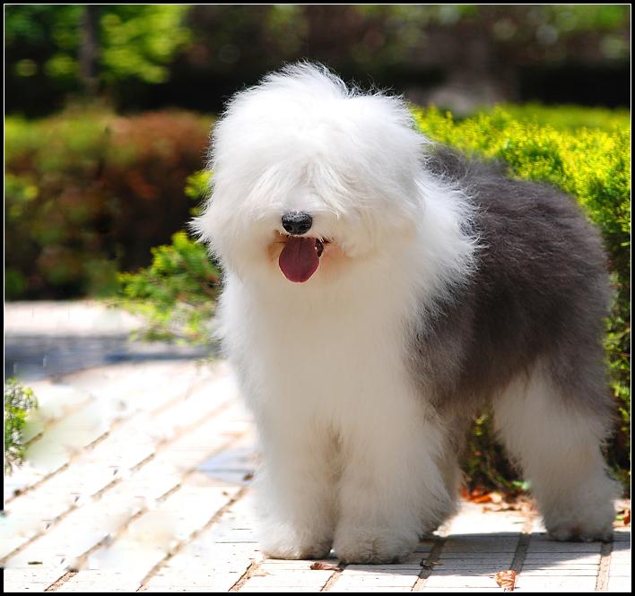 赵本山大棉袄二棉裤-1楼 一、萨摩耶 , 原本是一种俄罗斯血统的工作犬,常出现在美丽的