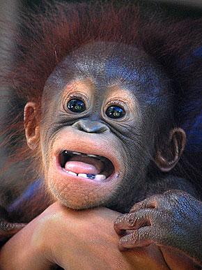让人忍俊不禁的猩猩12大经典搞笑表情(组图)_新闻图站图片