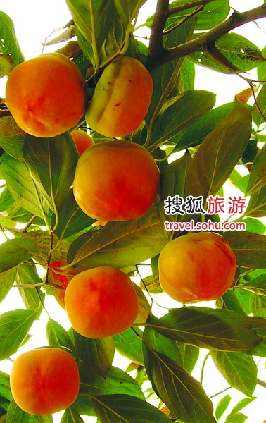 河北满城县:金秋红叶柿子节