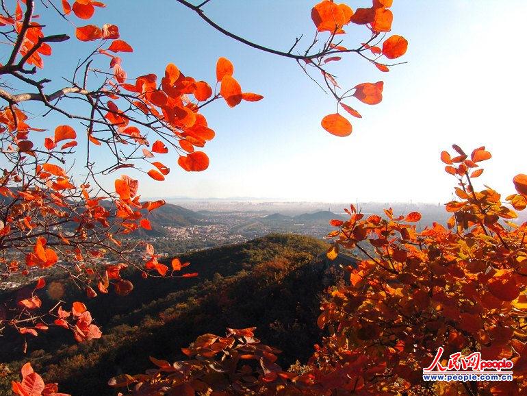 近距离赏香山红叶(组图)