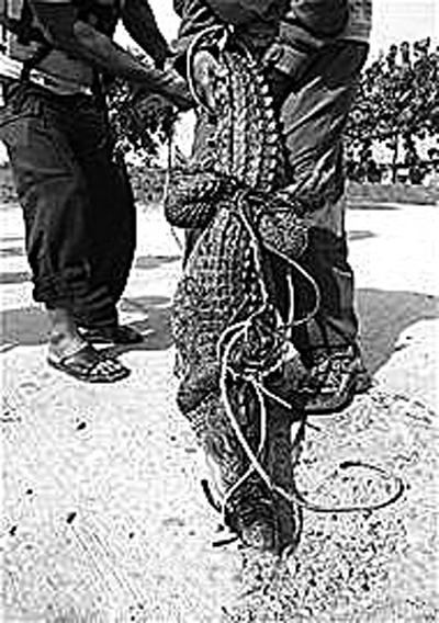 """一只被捕获的""""越狱""""鳄鱼"""