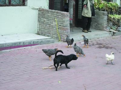 谁说 鸡犬不宁 居民区上演 鸡犬一家亲