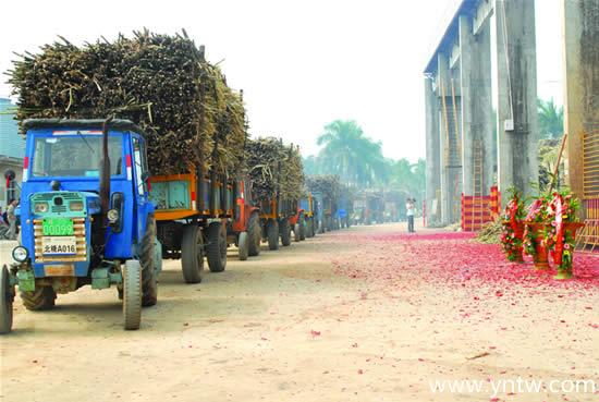 为减少蔗农损失 中粮屯河北海糖业提前开榨