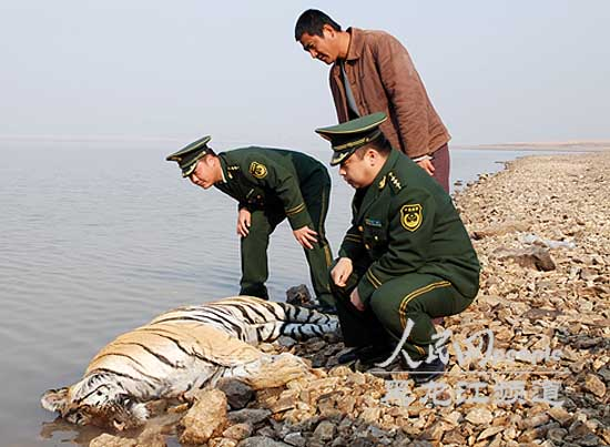 密山发现一具疑似成年野生东北虎尸体。