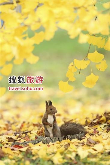三里河路:最正宗银杏大道浪漫牵手