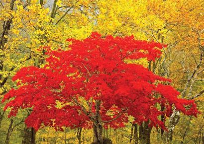 壁纸 枫叶 红枫 树 410_290