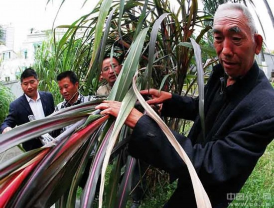 图为10月26日,73岁的党的十五大代表、全国劳模何元亮与中国金银草有限公司等负责人一起查看、了解金银草二号长势情况。