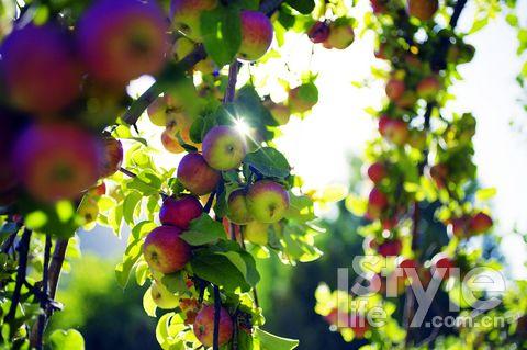 西樊各庄村有专业的技术员管理,果树丰产,最大的红富士重量达一斤三两。