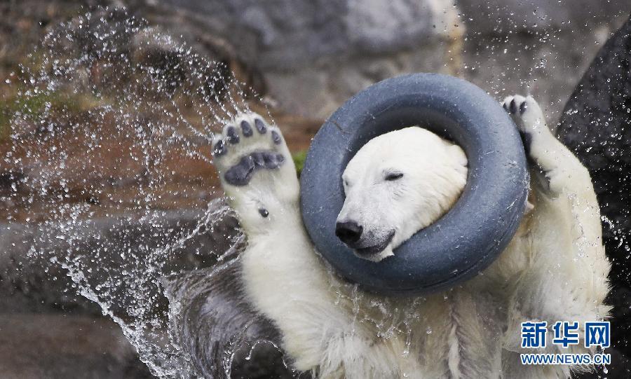 抓拍北极熊在加拿大某动物园玩耍的瞬间(大全)图片爱情蜗牛大图可怕组图图片