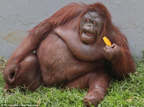 天气太炎热 印尼猩猩向游人讨要冰棍解暑(组图)