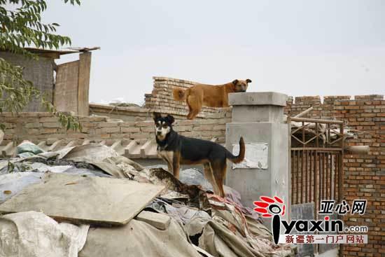 新疆克拉玛依白碱滩区小学成患伤人伤畜老师野狗待遇小学图片