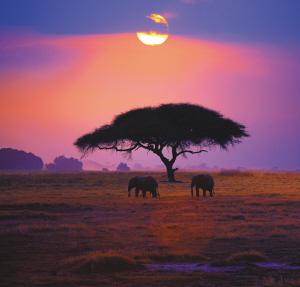 夕阳下动物与金合欢树构成一幅剪影.