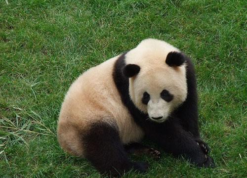 壁纸 大熊猫 动物 500_360
