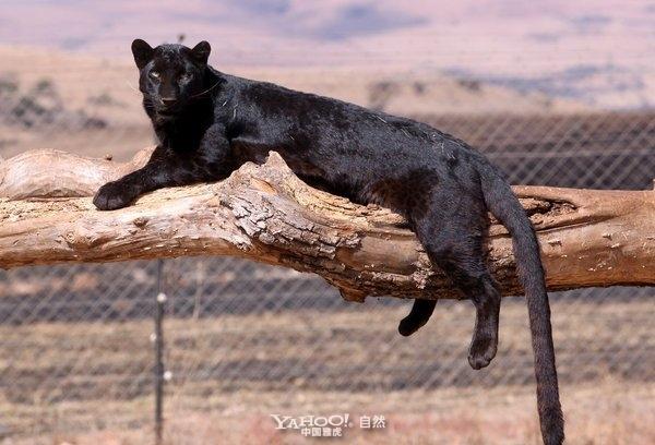 非洲黑豹粘人争宠(组图)