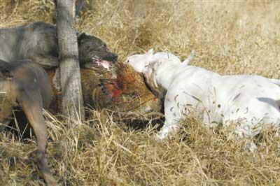 养犬人为增猎狗野性拿野猪当猎物 被指血腥(图)