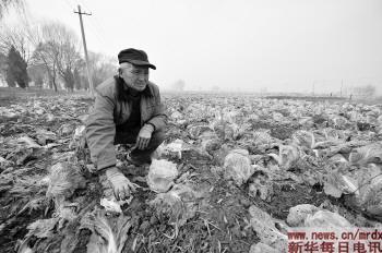 11月21日,山西省晋中市榆次区东阳镇庞志村村民董学孔看着地里的白菜图片