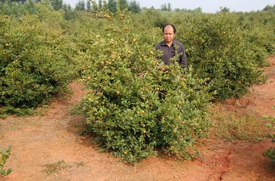 油茶树 油茶苗 开启中国农民创富之路