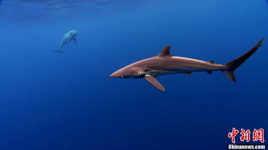 鲨鱼 鱼翅图片_【图】如此猎杀鲨鱼取鱼翅 太残忍!-搜狐滚动