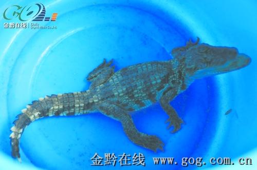 捡到到这条小鳄鱼的市民叫陈瑜,他家住在安顺虹山水库岸边的东山路二队。记者昨天在陈瑜家中看见,一条长约30厘米、重约半斤的小鳄鱼被装在一个绿塑料桶中。陈瑜用小铁棍慢慢接近它时,突然,一动不动的小鳄鱼猛一摆头,嘴立即张得大大的,警惕地注视着接近它的小铁棍。记者发现,小鳄鱼的嘴上,长着许多尖尖的牙齿。   具有攻击性,很凶猛。陈瑜说,捡回家几天来,没有人敢接近它,因为跑得非常快,家人也不敢把它放在地上,只好把它装在一只塑料桶中。   陈瑜讲,11月21日下午,他与几个朋友到安顺东关虹机厂一户人家吃酒。下午