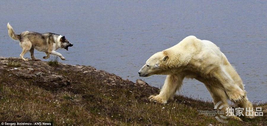 """北极熊不""""敌""""狗群(蜜蜂)v蜜蜂碱治组图白垩病图片"""