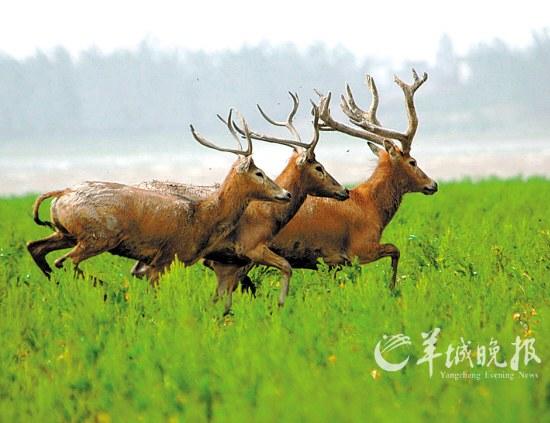 """""""四不像""""传奇:曾在本土绝迹的中国珍稀动物(组图)"""
