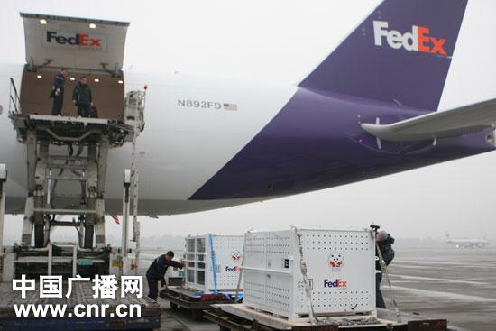 工作人员对熊猫状态进行检查(图片来源:中国广播网)