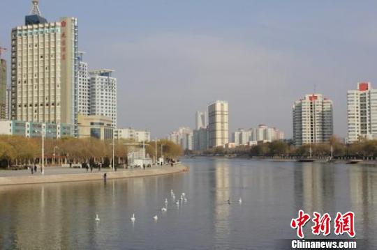 天鹅连续4年到新疆库尔勒市孔雀河越冬(组图)