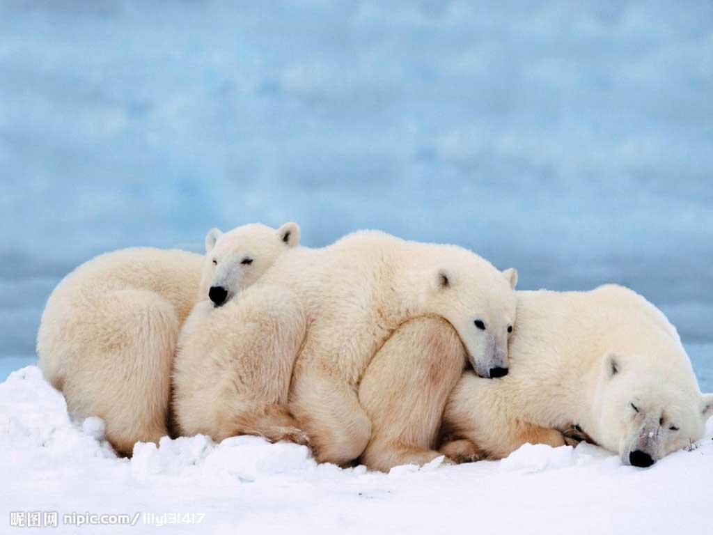 北极海智慧积迅速缩小,解冻冰层和北极熊的萎缩冰面生存,而海象使得却大空间鳄鱼线图片