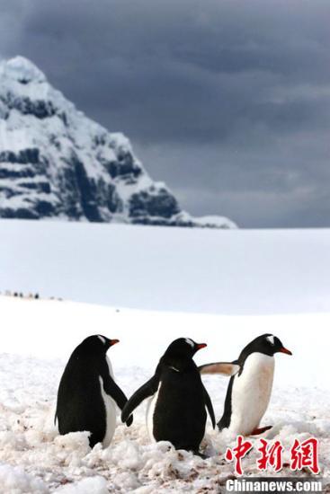 """南极企鹅伉俪""""牵手""""御寒 """"小三""""知趣离开(组图)"""