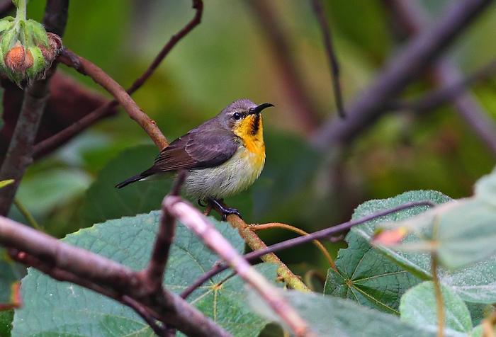 【打卡20111221】 赏鸟-------紫色花蜜鸟