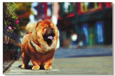 福州小区里常见大型犬 宠物狗攻击性你知多少
