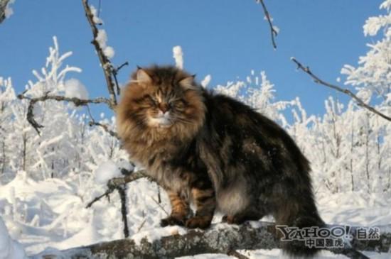 西伯利亚森林猫_挪威森林猫_西伯利亚猫