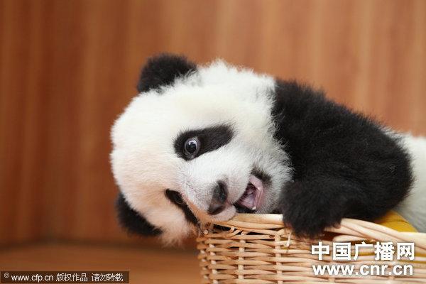 """熊猫宝宝招手""""卖萌""""(图片来源:中国广播网/cfp)"""