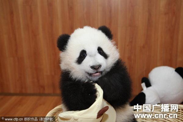 四川熊猫宝宝收到礼物