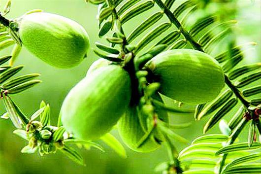 图文:一树同挂三代果一斤可卖300元