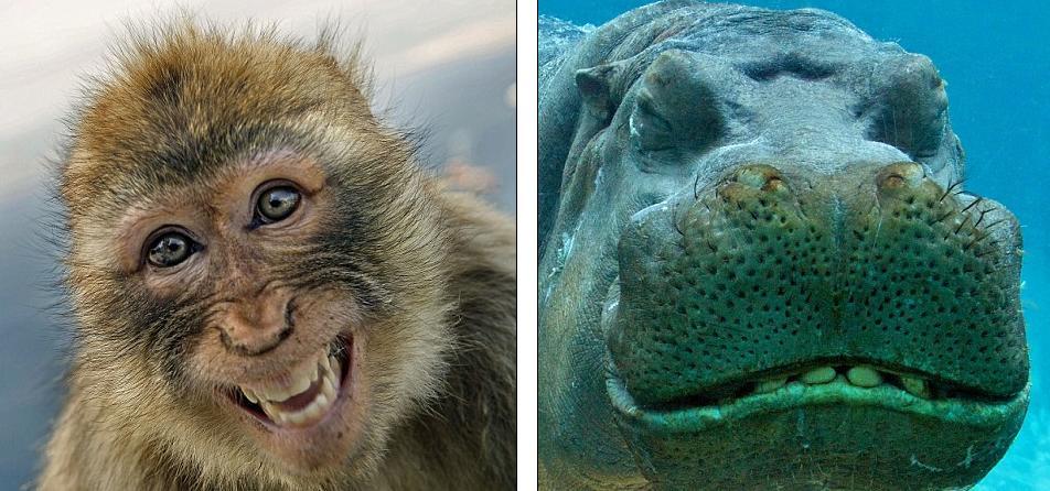 这只猕猴笑得可开心了,这只河马则露齿微笑