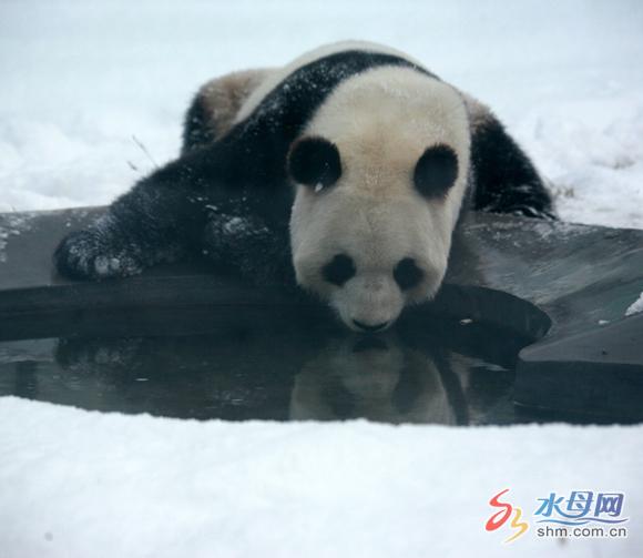 水母网1月5日讯(ymg记者时立国 于春水摄影报道) 爬树,打滚,洗冷水浴