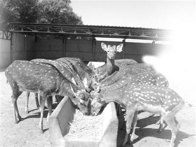 驯鹿花车冰雪节 游客欢喜一片爱