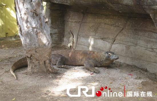 悉尼塔龙加动物园内的科莫多龙